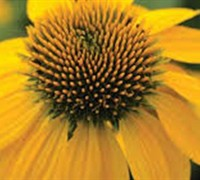 Asteraceae Echinacea Sombrero Lemon Yellow Coneflower