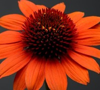 Asteraceae Echinacea Sombrero Adobe Orange Coneflower