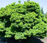Shop Mikawa yatsubusa Japanese Maple - 3 Gallon