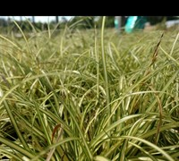 Shop Carex Evergold Japanese Sedge - 1 Gallon