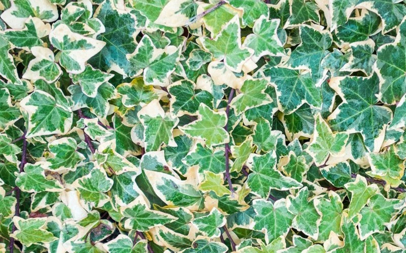 Variegated English Ivy - 18 Pack - Groundcovers | ToGoGarden