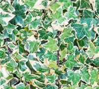 Shop Variegated English Ivy - 18 Pack