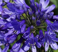 Shop AGAPANTHUS EVER AMETHYST TM PPAF - 2.5 Quart