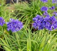 Shop AGAPANTHUS EVER MIDNIGHT TM - 2.5 Quart