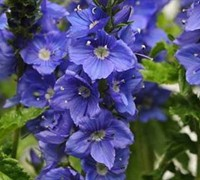 Veronica 'Venice Blue' PP#27555 - Speedwell