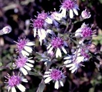 Shop Symphyotrichum lat. 'Lady in Black' - Calico Aster - Gallon