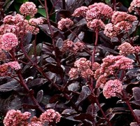 Suc. - Sedum x 'Night Embers' PPAF