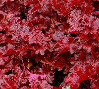Shop Heuchera 'Forever Red' PPAF  - Coral Bells (Terra Nova) - 1 Gallon