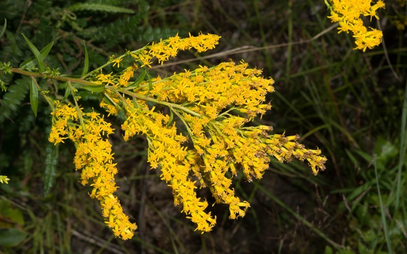 Solidago 'Sweety' PP#11316 - Dwarf Sweet Scented Goldenrod - 1 Gallon - Perennial Plants | ToGoGarden