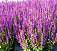 Shop Salvia nemorosa 'East Friesland' - Perennial Sage - 1 Gallon