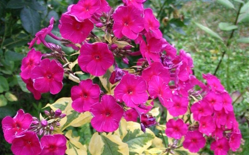 Phlox paniculata 'Goldmine Improved' PP#26910 - Garden Phlox - Gallon - Groundcovers | ToGoGarden