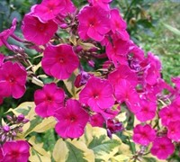 Shop Phlox paniculata 'Goldmine Improved' PP#26910 - Garden Phlox - Gallon