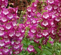 Shop Penstemon Taffy TM 'Grape Taffy' PP#2567 - Bearded Tongue - 3 Count Flat of Pint Pots