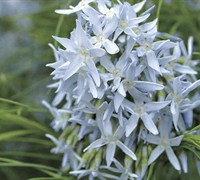 Shop Amsonia hubrichtii  - Arkansas Bluestar - Gallon