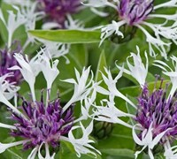 Shop Centaurea 'Lavender Mist' PPAF - Bluet - 1 Gallon