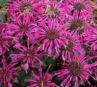 "Shop Monarda didyma Balmyâ""¢ 'Purple' PP#25516 - Bee Balm - Gallon"