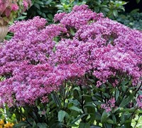 Shop Eupatorium dubium 'Baby Joe' PP#20320 - Joe Pye Weed - 1 Gallon