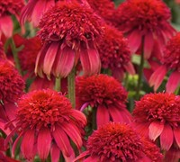 Echinacea Double Scoop TM 'Cranberry' PP#24769 - Coneflower