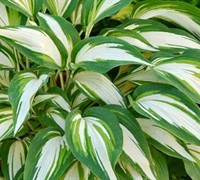 Shop Hosta 'Cool as a Cucumber' - Plantain Lily - Gallon