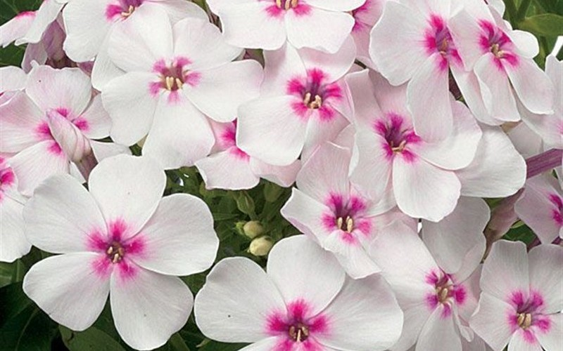 Phlox paniculata 'Flame White Eye' PP#22211 - Dwarf Garden Phlox - 1 Gallon - Groundcovers | ToGoGarden