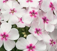 Shop Phlox paniculata 'Flame White Eye' PP#22211 - Dwarf Garden Phlox - 1 Gallon