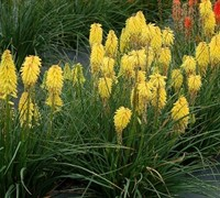 Shop Kniphofia uvaria Poco TM 'Yellow' PP#27616 - 1 Gallon