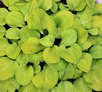 Shop Hosta 'Sun Mouse' PPAF - Plantain Lily - 10 Count Flat of Quart Pots