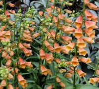 Shop Digitalis 'Goldcrest' PP#20937 - Foxglove - 1 Gallon