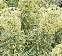 Shop Euphorbia characias 'Tasmanian Tiger' PP#15715 - Spurge - 3 Count Flat of Pint Pots