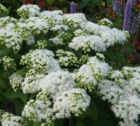 Shop Eupatorium rugosum 'Lucky Melody ®' - Snakeroot - 1 Gallon