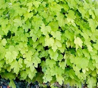 Shop Heucherella HAPPY HOUR 'Lime' PPAF - Foamy Bells (Terra Nova) - 1 Gallon