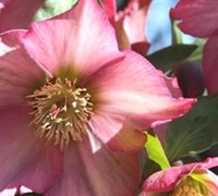 Shop Helleborus Ice N' Roses 'Pink' PPAF - 1 Gallon