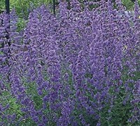 Shop Herbs - Nepeta x faassenii 'Dropmore' - Cat Mint - 3 Count Flat of Pint Pots