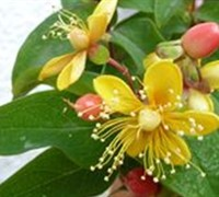 Shop Herbs - Hypericum Hypearl ® 'Compact Red' - St. John's Wort - Gallon