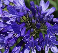 AGAPANTHUS LITTLE BLUE FOUNTAIN TM PP#25966