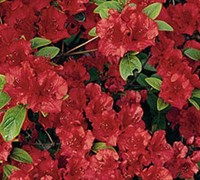 Shop AZALEA GD.'CHRISTINA MARIE' - 2.5 Quart