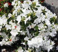 Shop Delaware Valley White Azalea - 2.5 Quart