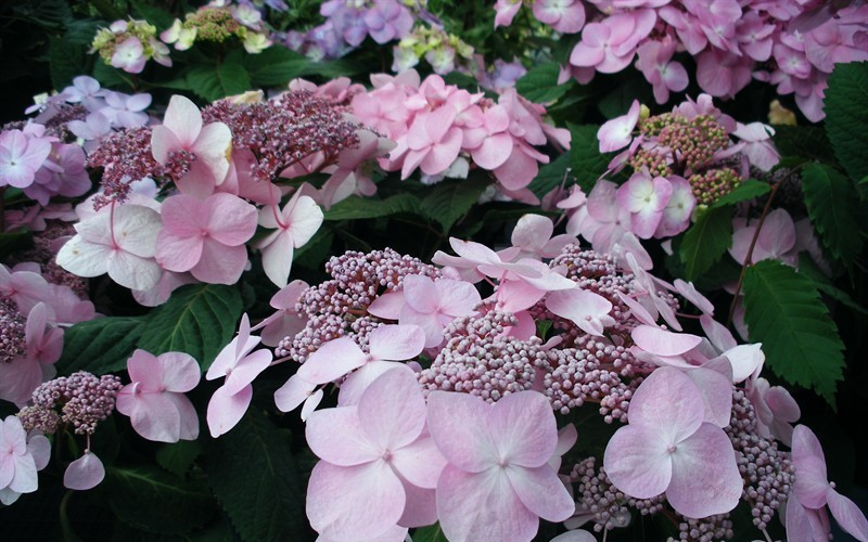 Twist-n-Shout Hydrangea - 1 Gallon - Flowering Shrubs | ToGoGarden