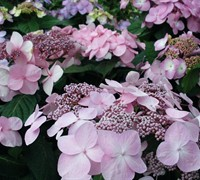 Twist-n-Shout Hydrangea - Hydrangea macrophylla 'Twist And Shout'