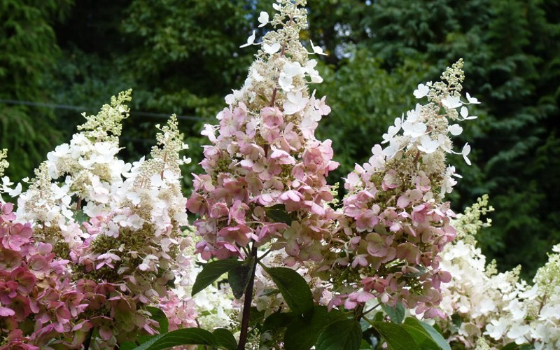 buy pinky winky hydrangea hydrangea paniculata 39 pinky. Black Bedroom Furniture Sets. Home Design Ideas