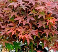 Shop Rhode Island Red Dwarf Japanese Maple - 2 Gallon (16