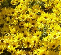 Shop Autumn Gold - Willow Leaf Sunflower - Gallon