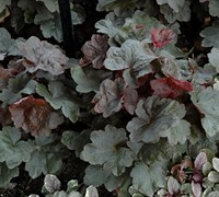 Shop Heuchera Carnival TM 'Black Olive' PPAF - Coral Bells (Darwin) - Gallon