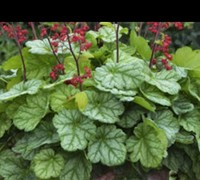 Shop Heuchera DOLCE TM 'Appletini' PP#29396 PROVEN WINNERS - Coral Bells - 1 Gallon