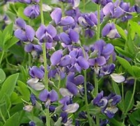 Shop Baptisia Australis False Indigo - 1 Gallon