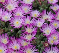 Shop Delosperma Hot Cakes®  'Fig Fusion' PPAF - 10 Count Flat of Quart Pots