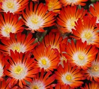Shop Delosperma Hot Cakes® 'Pumpkin Perfection' PPAF - 10 Count Flat of Quart Pots