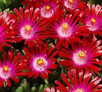 Shop Delosperma Hot Cakes® 'Saucy Strawberry' PPAF - 10 Count Flat of Quart Pots