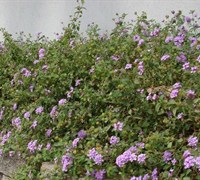 Shop Trailing Purple Lantana - 10 Count Flat of 4