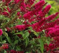Shop BUDDLEIA ROYAL RED - 3 Gallon